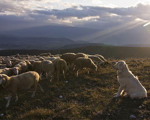 Storie di Lupi e Pastori nel Parco Nazionale d'Abruzzo- pecore